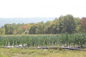 Organic leeks. (Photo by Velvet Spicer)